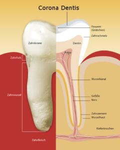 corona dentis